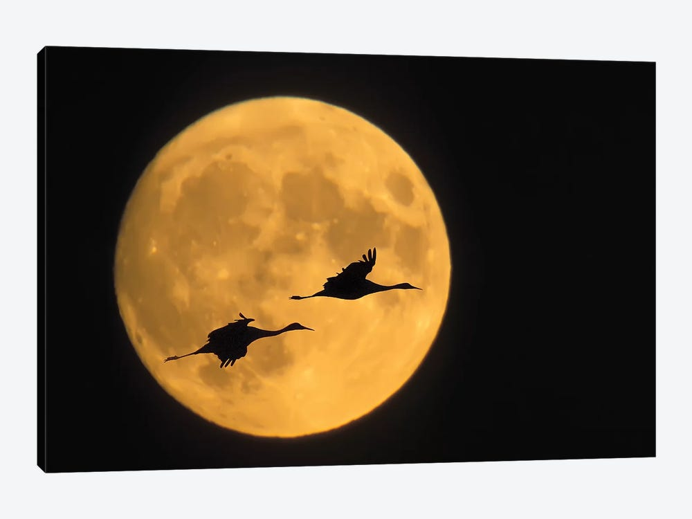 Flying Sandhill Crane Couple With A Full Moon Background, Bosque del Apache National Wildlife Refuge, New Mexico, USA by Ellen Anon 1-piece Canvas Art Print