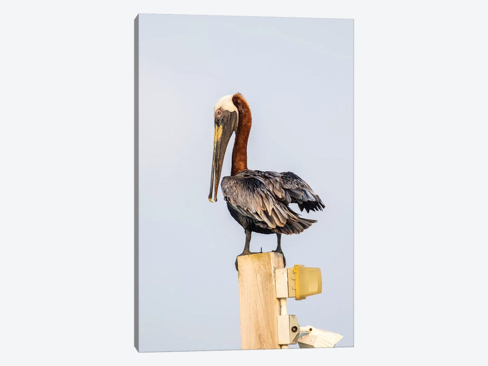 Belize, Ambergris Caye. Brown Pelican perched on top of a light pole. by Elizabeth Boehm 1-piece Canvas Art Print