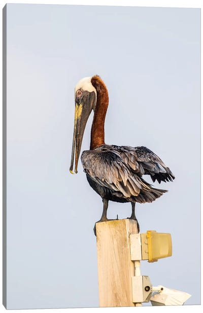 Belize, Ambergris Caye. Brown Pelican perched on top of a light pole. Canvas Art Print