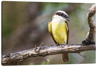 Belize, Ambergris Caye. Great Kiskadee calls from a perch. Canvas Art Print