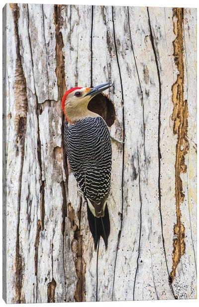 Belize, Crooked Tree Wildlife Sanctuary. Golden-fronted Woodpecker sitting at the nest cavity Canvas Art Print