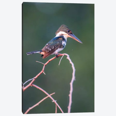 Belize, Crooked Tree Wildlife Sanctuary. Little Green Kingfisher perching on a limb. Canvas Print #EBO13} by Elizabeth Boehm Canvas Wall Art
