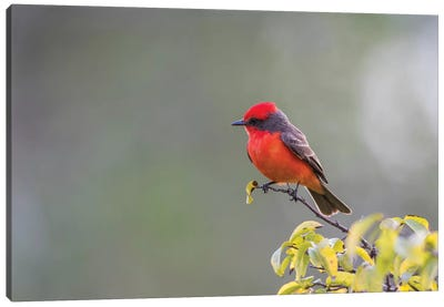 Belize, Crooked Tree Wildlife Sanctuary. Male Vermillion Flycatcher perching on a limb. Canvas Art Print