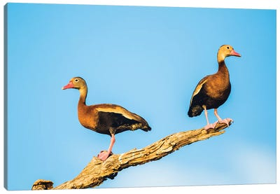 Belize, Crooked Tree Wildlife Sanctuary. Two Black-bellied Tree Ducks perch on a snag. Canvas Art Print