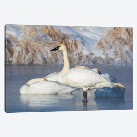 USA, Sublette County, Wyoming. group of Trumpeter Swans stands and rests on an ice-covered pond Canvas Print #EBO16} by Elizabeth Boehm Art Print
