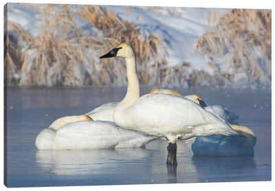 USA, Sublette County, Wyoming. group of Trumpeter Swans stands and rests on an ice-covered pond Canvas Art Print