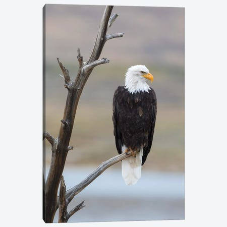 USA, Wyoming, Sublette County. Adult Bald Eagle sitting on a snag above Soda Lake. Canvas Print #EBO17} by Elizabeth Boehm Canvas Print