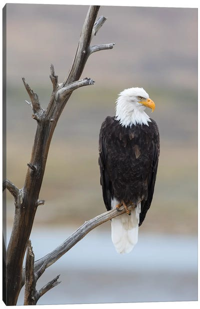 USA, Wyoming, Sublette County. Adult Bald Eagle sitting on a snag above Soda Lake. Canvas Art Print