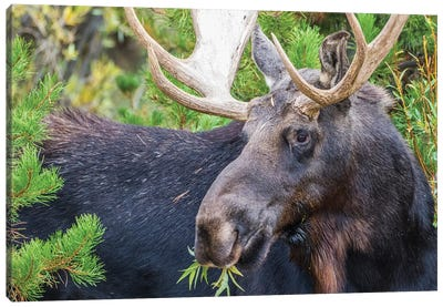 USA, Wyoming, Sublette County. Bull moose eats from a willow bush Canvas Art Print