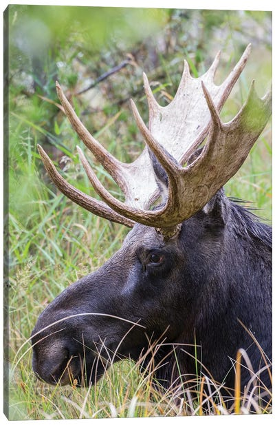 USA, Wyoming, Sublette County. Bull moose lying down in a grassy area displaying his large antlers. Canvas Art Print