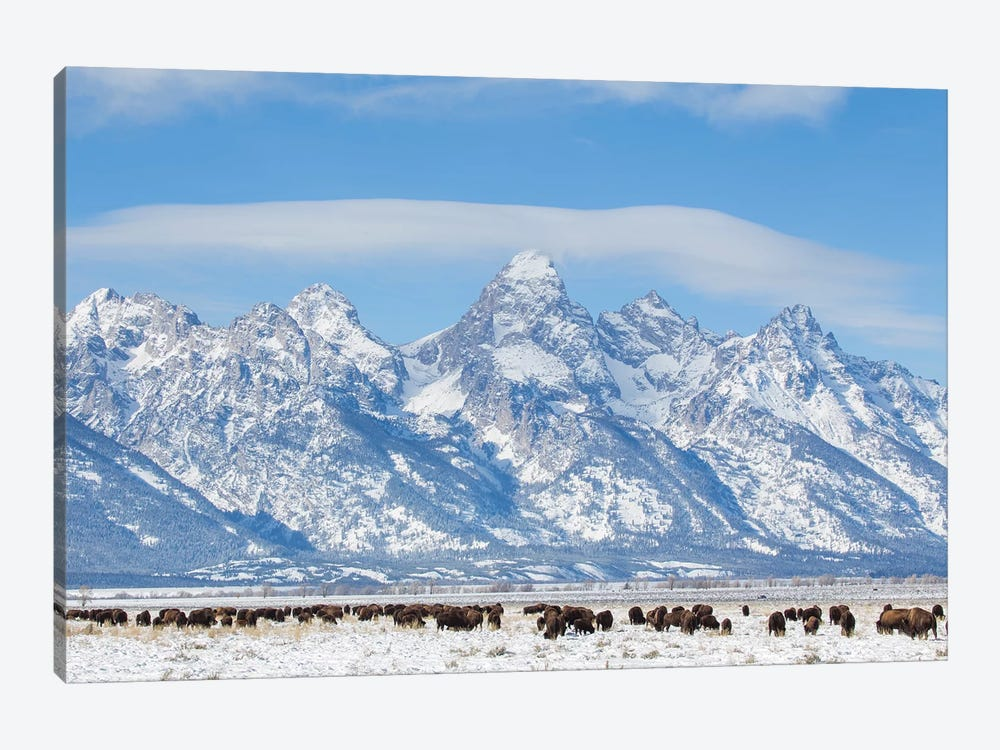 USA, Wyoming, Grand Teton National Park, Bison herd grazing in winter by Elizabeth Boehm 1-piece Canvas Wall Art