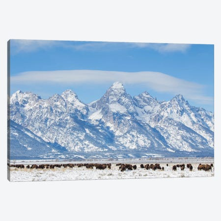 USA, Wyoming, Grand Teton National Park, Bison herd grazing in winter Canvas Print #EBO1} by Elizabeth Boehm Canvas Art