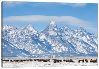 USA, Wyoming, Grand Teton National Park, Bison herd grazing in winter Canvas Art Print