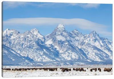 USA, Wyoming, Grand Teton National Park, Bison herd grazing in winter Canvas Art Print