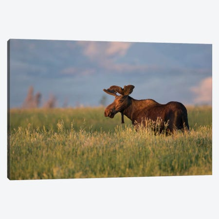 USA, Wyoming, Sublette County. Bull moose stands in tall grasses at evening light. Canvas Print #EBO20} by Elizabeth Boehm Art Print