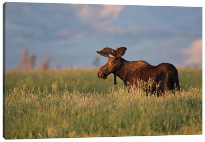 USA, Wyoming, Sublette County. Bull moose stands in tall grasses at evening light. Canvas Art Print