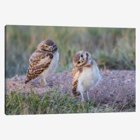 USA, Wyoming, Sublette County. Two young Burrowing owls stand at the edge of their natal burrow Canvas Print #EBO23} by Elizabeth Boehm Canvas Art Print