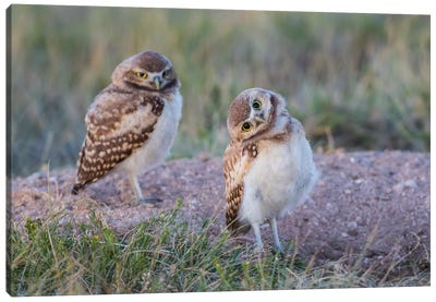 USA, Wyoming, Sublette County. Two young Burrowing owls stand at the edge of their natal burrow Canvas Art Print