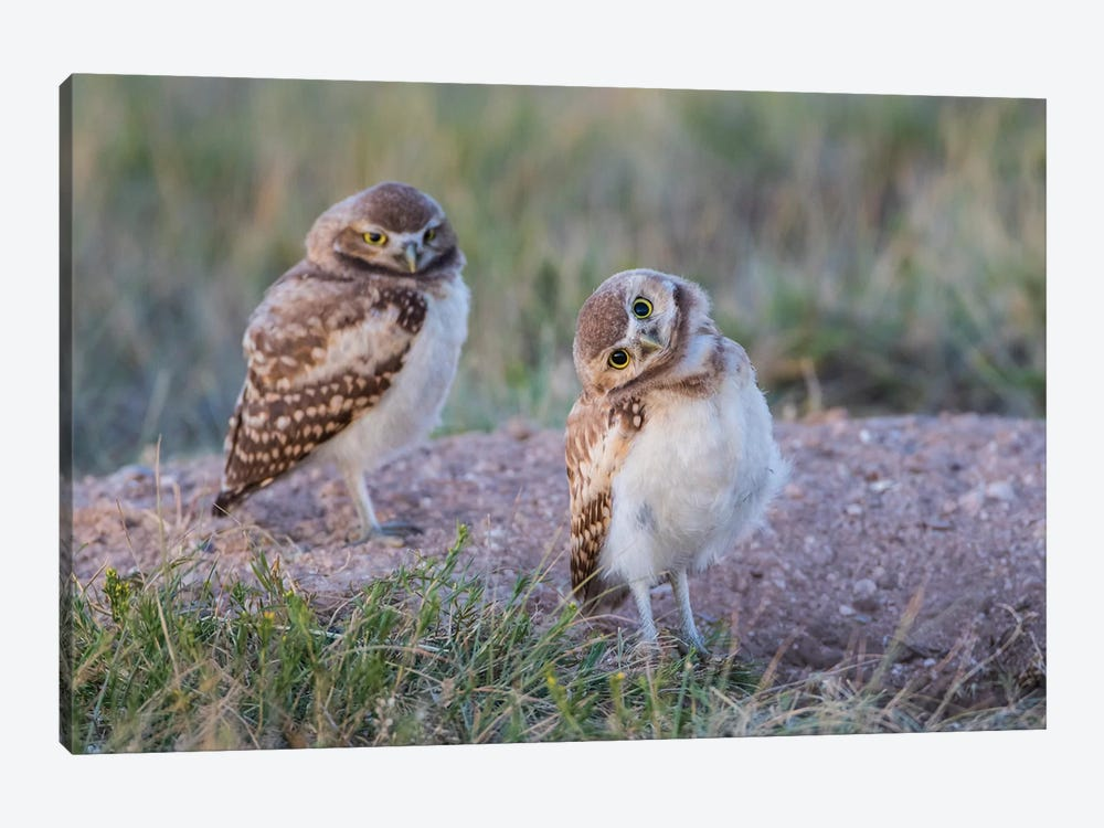 USA, Wyoming, Sublette County. Two young Burrowing owls stand at the edge of their natal burrow by Elizabeth Boehm 1-piece Canvas Art Print