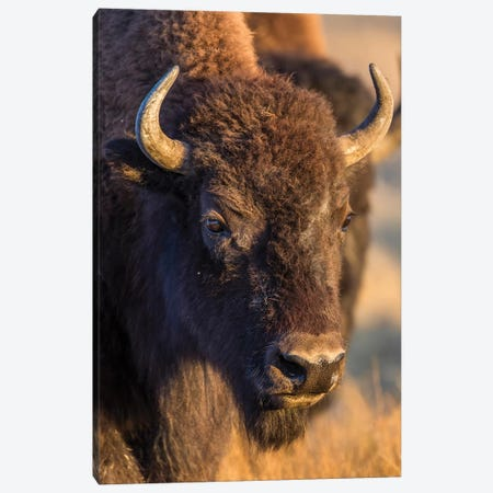 USA, Wyoming, Yellowstone National Park, a cow bison. Canvas Print #EBO24} by Elizabeth Boehm Canvas Artwork