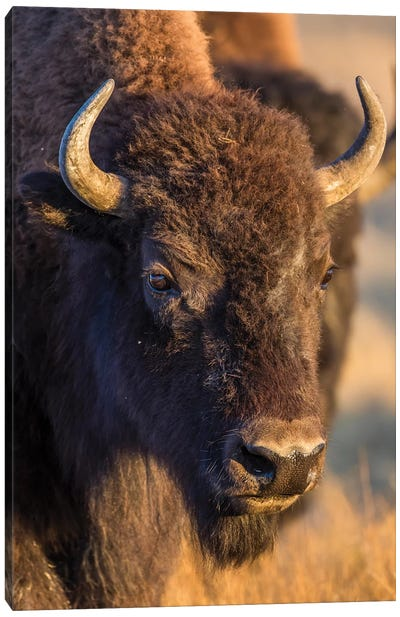 USA, Wyoming, Yellowstone National Park, a cow bison. Canvas Art Print
