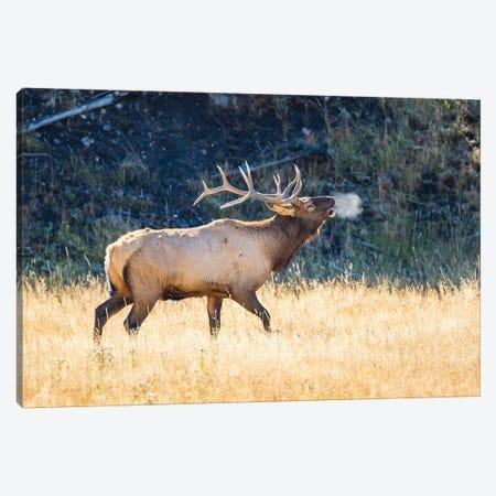 USA, Wyoming, Yellowstone National Park, Bull elk bugles in the crisp autumn air. 3-Piece Canvas #EBO25} by Elizabeth Boehm Canvas Art