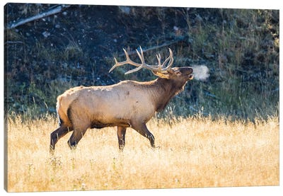 USA, Wyoming, Yellowstone National Park, Bull elk bugles in the crisp autumn air. Canvas Art Print