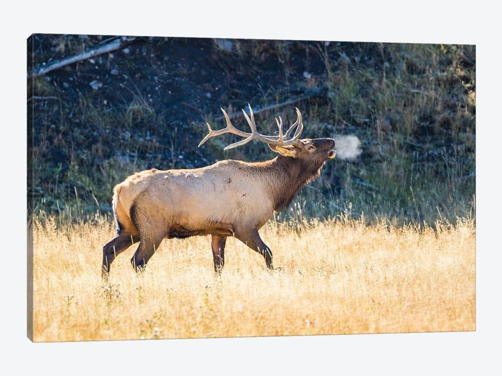 USA, Wyoming, Yellowstone National Park, Bull elk bugles in the crisp autumn air. by Elizabeth Boehm 1-piece Canvas Art Print