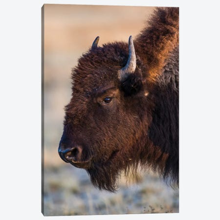 USA, Wyoming. Yellowstone National Park, bison cow at Fountain Flats in autumn Canvas Print #EBO26} by Elizabeth Boehm Canvas Art