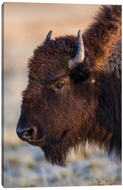 USA, Wyoming. Yellowstone National Park, bison cow at Fountain Flats in autumn Canvas Art Print