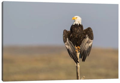 Wyoming, Sublette County. Adult Bald Eagle perching on a snag at Soda Lake Canvas Art Print