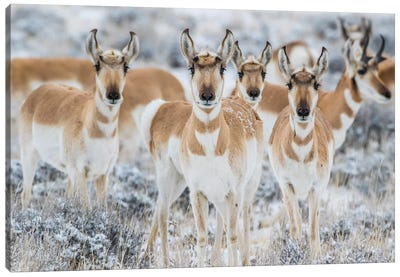 Wyoming, Sublette County. Curious group of pronghorn standing in sagebrush during the wintertime Canvas Art Print