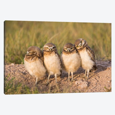 Wyoming, Sublette County. Four Burrowing Owl chicks stand at the edge of their burrow evening light Canvas Print #EBO29} by Elizabeth Boehm Canvas Art Print