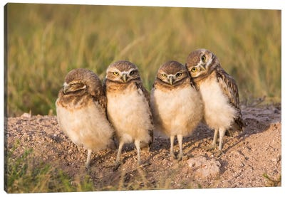 Wyoming, Sublette County. Four Burrowing Owl chicks stand at the edge of their burrow evening light Canvas Art Print