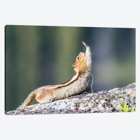 Wyoming, Sublette County. Golden-mantled Ground Squirrel stretching as if reaching for a high-five. Canvas Print #EBO30} by Elizabeth Boehm Canvas Art