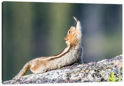 Wyoming, Sublette County. Golden-mantled Ground Squirrel stretching as if reaching for a high-five. Canvas Art Print