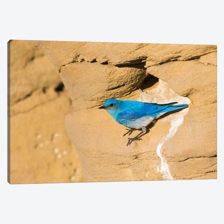 Wyoming, Sublette County. Male Mountain Bluebird leaves the nest sight in a sandstone cliff Canvas Print #EBO31} by Elizabeth Boehm Canvas Artwork