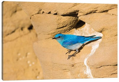 Wyoming, Sublette County. Male Mountain Bluebird leaves the nest sight in a sandstone cliff Canvas Art Print
