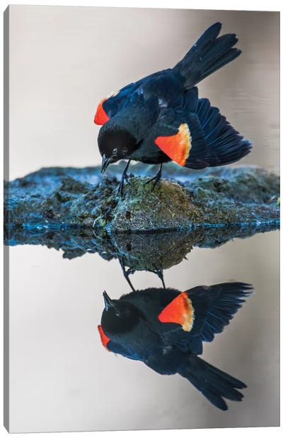 Wyoming, Sublette County. Pinedale, a male Red-winged Blackbird Canvas Art Print