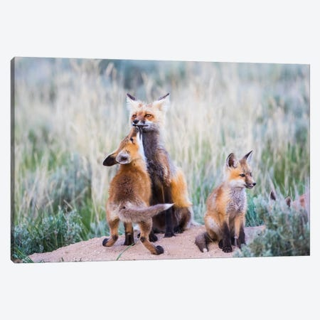 Wyoming, Sublette County. Red fox kit greets it's mom with a kiss as she returning to the den site. Canvas Print #EBO33} by Elizabeth Boehm Canvas Artwork