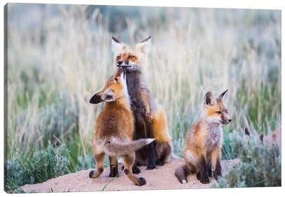 Wyoming, Sublette County. Red fox kit greets it's mom with a kiss as she returning to the den site. Canvas Art Print