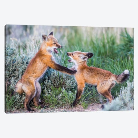 Wyoming, Sublette County. Two red fox kits playing in the sage brush near their den Canvas Print #EBO34} by Elizabeth Boehm Canvas Print