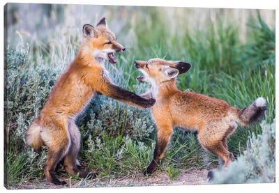 Wyoming, Sublette County. Two red fox kits playing in the sage brush near their den Canvas Art Print