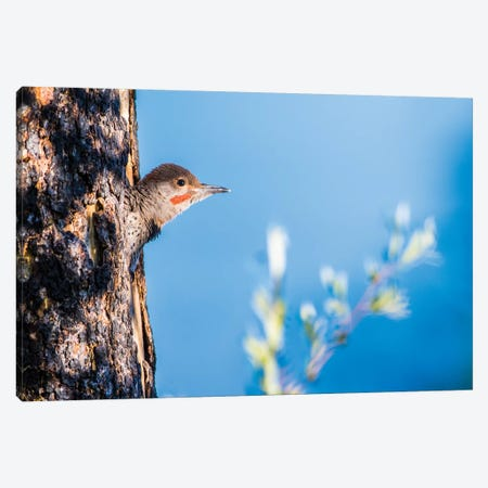 Wyoming, Sublette County. Young male Northern Flicker peering from it's nest cavity Canvas Print #EBO35} by Elizabeth Boehm Art Print