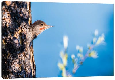 Wyoming, Sublette County. Young male Northern Flicker peering from it's nest cavity Canvas Art Print