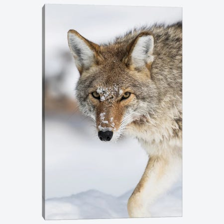Wyoming, Yellowstone National Park, a coyote walking along the a snowy river during the wintertime. Canvas Print #EBO36} by Elizabeth Boehm Canvas Art Print
