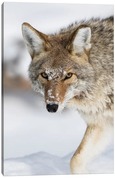Wyoming, Yellowstone National Park, a coyote walking along the a snowy river during the wintertime. Canvas Art Print