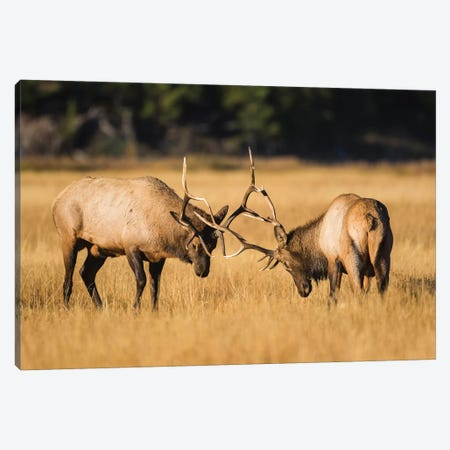Wyoming, Yellowstone National Park, two young bull elk spar in the autumn grasses for dominance. 3-Piece Canvas #EBO37} by Elizabeth Boehm Art Print