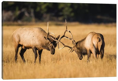 Wyoming, Yellowstone National Park, two young bull elk spar in the autumn grasses for dominance. Canvas Art Print