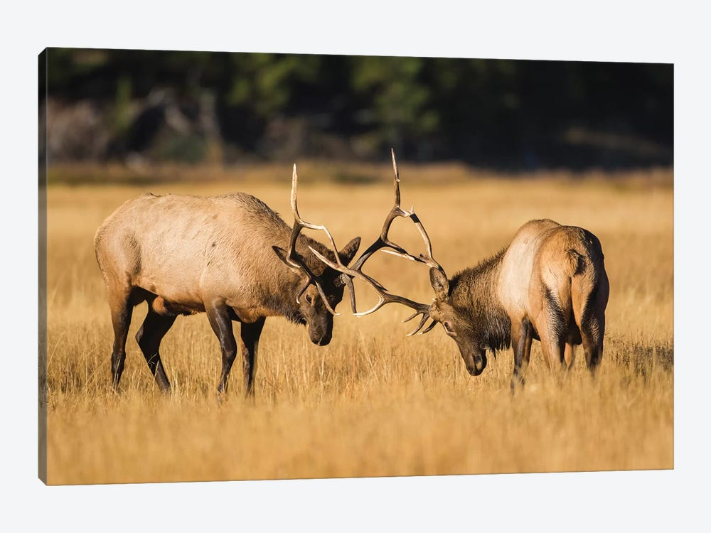 Wyoming, Yellowstone National Park, two young bull elk spar in the autumn grasses for dominance. by Elizabeth Boehm 1-piece Canvas Art